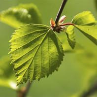 Фото березовых листьев 4