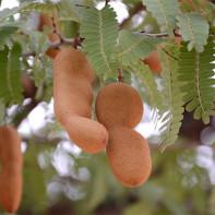 Фото фрукта тамаринд 5