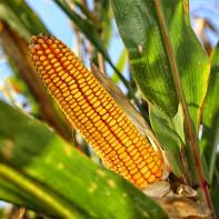 Фото кукурузы 4
