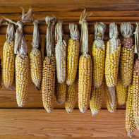 Фото сушеной кукурузы 2