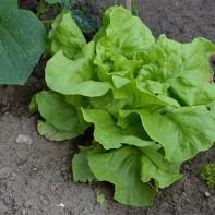 Фото листового салата