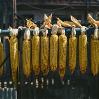 Фото сушеной кукурузы 4