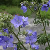 Фото синюхи голубой 5