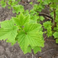 Фото листьев смородины 2