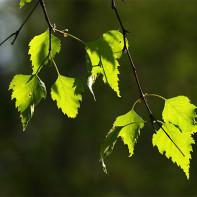 Фото березовых листьев 2