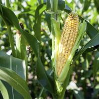 Фото кукурузы 5