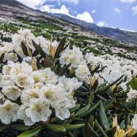 Фото кавказского рододендрона 4