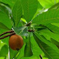 Фото фрукта генипа 2