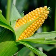 Фото кукурузы