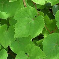 Фото виноградных листьев