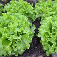 Фото листового салата 2