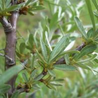 Фото листьев облепихи 5