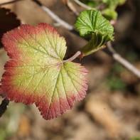 Фото листьев смородины 5