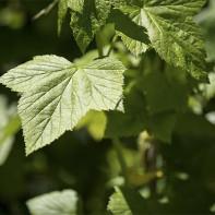 Фото листьев смородины