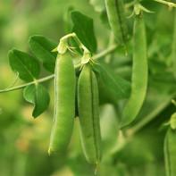 Вред и противопоказания зеленого гороха