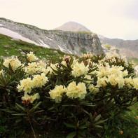 Фото кавказского рододендрона