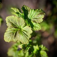 Фото листьев смородины 4