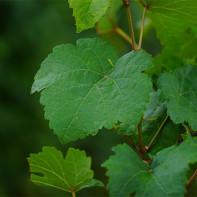 Фото виноградных листьев 5