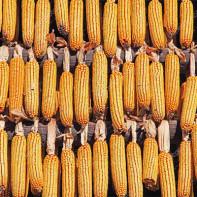 Фото сушеной кукурузы 5