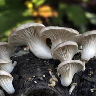 Фото грибов вешенок 6