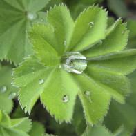 Фото травы манжетка 2