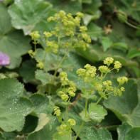 Фото травы манжетка 5