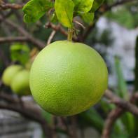 Фото фрукта помело