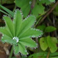 Фото травы манжетка 4
