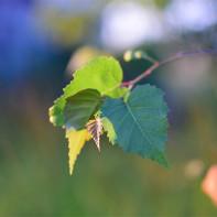 Фото березовых листьев 5
