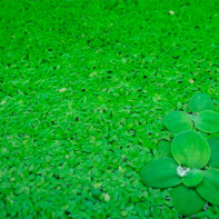 Фото травы ряски