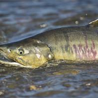 Фото рыбы кеты 2