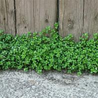 Фото травы мокрицы 3