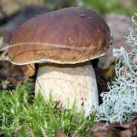 Фото белых грибов 2
