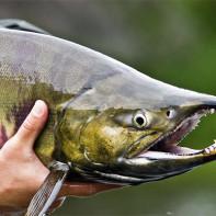 Фото рыбы кеты 4