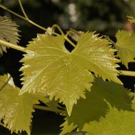 Фото виноградных листьев 4