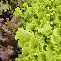 Фото листового салата 4