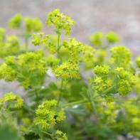 Фото травы манжетка 3