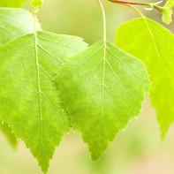 Фото березовых листьев