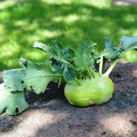 Фото капусты кольраби 2