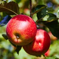 Фото яблок 5
