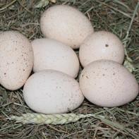 Фото индюшиных яиц 2