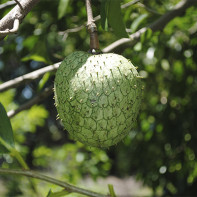 Фото фрукта гуанабана 2