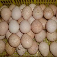 Фото индюшиных яиц 3