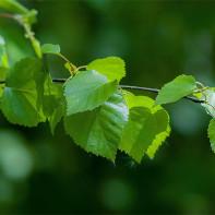 Фото березовых листьев 3