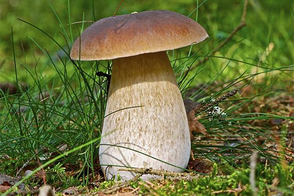 Интересные факты о белых грибах