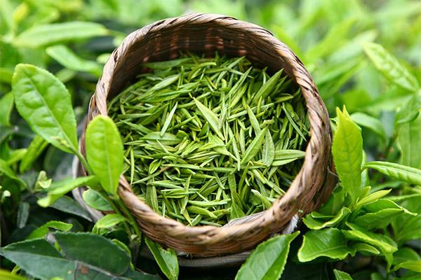Зеленый чай в медицине