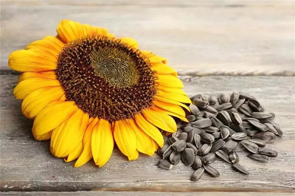 Вред и противопоказания семян подсолнечника