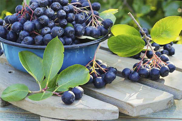 Как выбрать и хранить черноплодную рябину