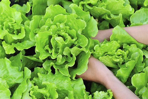 Как выбрать и хранить листовой салат