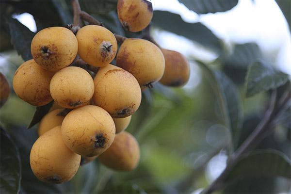 Интересные факты о фрукте мушмула
